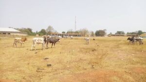 Cattle Invade Schools: Scared Students Scamper For Safety In Wenchi