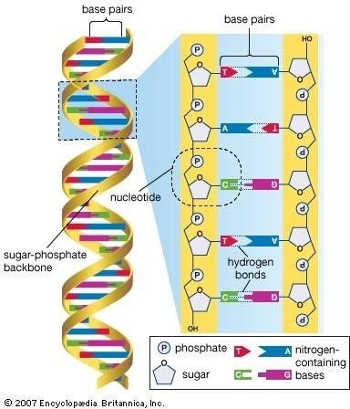 DNA sequencing: is the technique used to determine the nucleotide sequence of DNA (deoxyribonucleic acid). The nucleotide sequence is the most fundamental level of knowledge of a gene or genome.